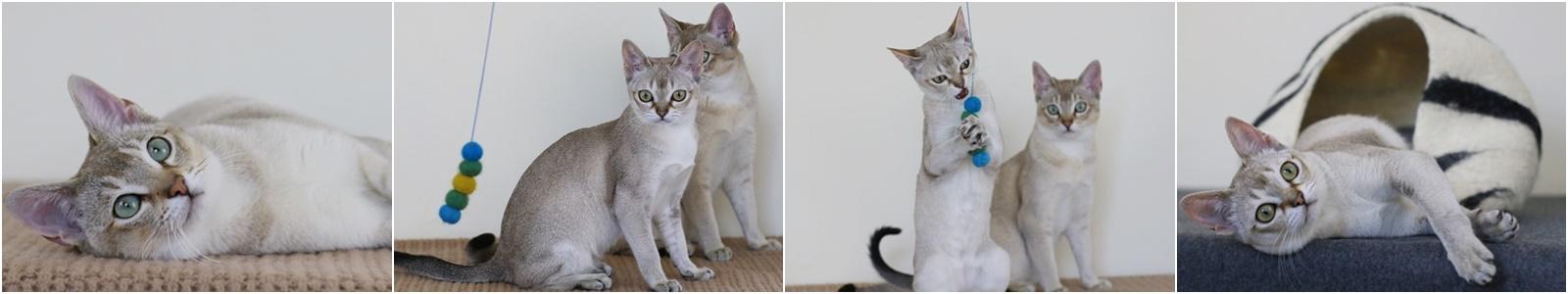 Nasze koty singapurskie