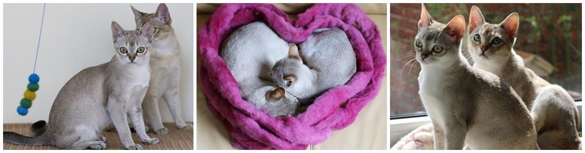 dostępne kocięta kot singapurski rezerwacja kupno