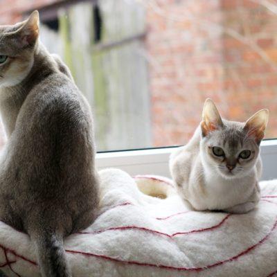 Koty singapurskie